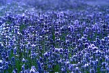 Fototapety the field of the lavender in mountain