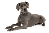 Grey Great Dane lying down in front of white background poster