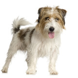 Jack russel long haired in front of a white background poster