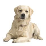 Labrador retriever cream in front of white background poster
