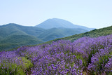 Subject: lavender field setting on the valley floor . poster