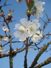 Fleurs de Ceisier