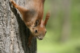 Fototapety Red squirrel in tree