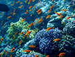 Underwater landscape with Scalefin Anthias. Red Sea