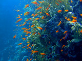 Underwater landscape with Scalefin Anthias. Red Sea poster