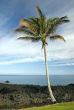 Hawaiian Palm Tree on Volcanic Lava Coast of Kona Island poster