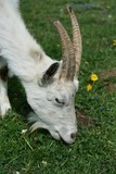 Goat on grazing poster
