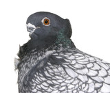 Short Faced Pigeon with Clipping path poster