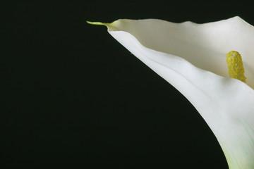 calla lily close-up