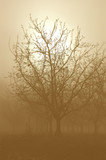 Sunrise Through a  Silhouette of Bare Walnut Trees in Fog poster