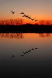 Silhouette and Reflection of Canadian Geese at Red Sunset poster