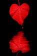 Red Heart Shaped Morning Glory Leaf, Reflection, Drop of Blood