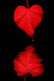 Red Heart Shaped Morning Glory Leaf, Reflection, Drop of Blood poster