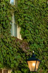 Lamp and Creeping Ivy