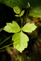 Detail of Western North American Poison Oak Leaves