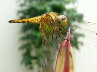 Close up of a dragonfly. Beautiful wingpattern.