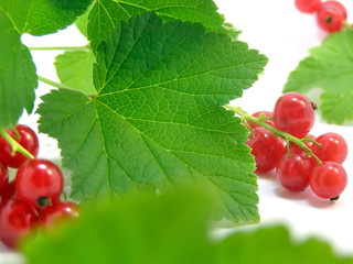 branch of rype by red currant isolated