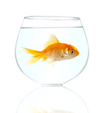 Gold small fish in an aquarium on a white background. poster