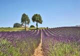 beau champs de lavandes