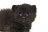 fuzzy black kitten on white poster