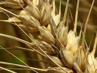 Epi de blé mur (Triticum), détail des grains