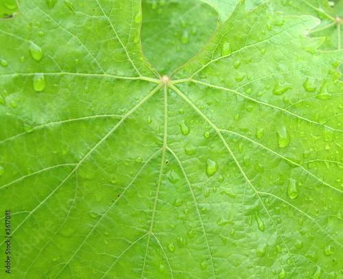 vine leaf background