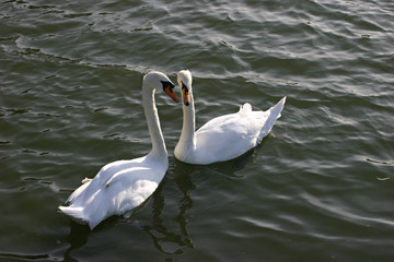Two white swans on lake.