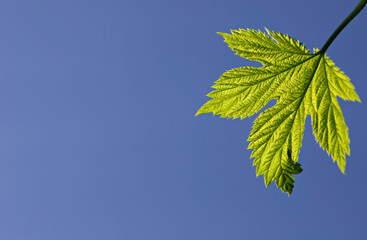 Green leaf in blue sky.