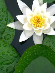 white water lily in between green leafs