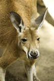 A red kangaroo staring from Australia poster