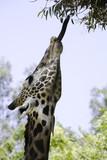Ugandan Giraffe Stretches Tongue poster