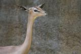 Horizontal image of a Gerenuk poster
