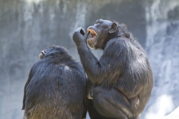 A pair of chimpanzees, grooming and eating ticks or fleas.