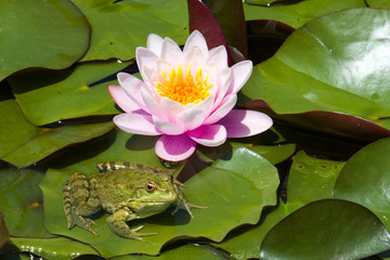 Lily and a frog sitting on leaves