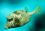 Smooth trunk fish poster