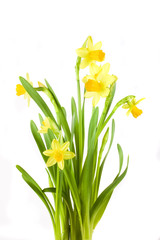 yellow spring daffodil on white background whit drops.