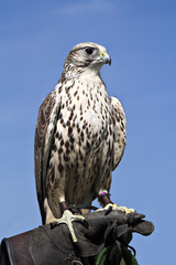 Hawk - Regal Bird