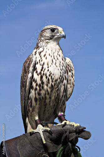Hawk - Regal Bird