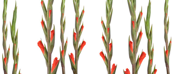 opening gladioli shoots isolated and arranged barcode-like