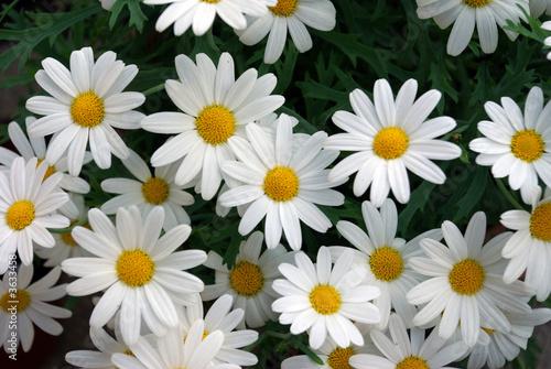 margerytki-biale-kwiaty-lak