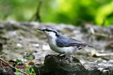 Amusing nuthatch posing before a camera. poster