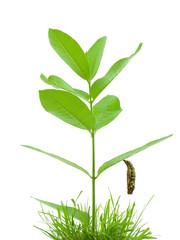 Chrysalis hanging from milkweed