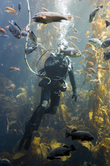 a diver among lots of fish and kelp