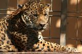 Jaguar im Zoo poster