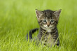 roleta: little kitten playing on the grass close up