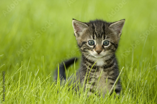 Fototapety, obrazy : little kitten playing on the grass close up