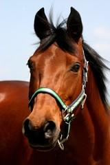 Cute brown horse