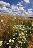 summer countryside with wildflowers and sky/clouds poster