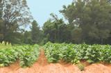 Healthy tobacco plants on a farm field. poster