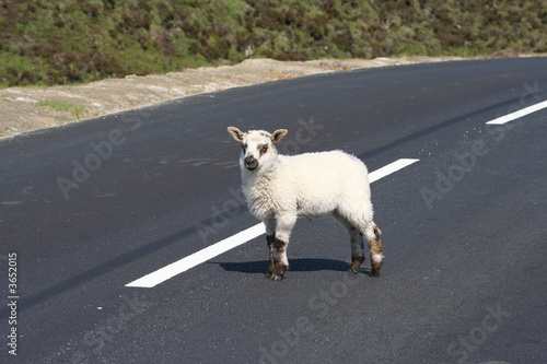 cute innocent lamb standing in road